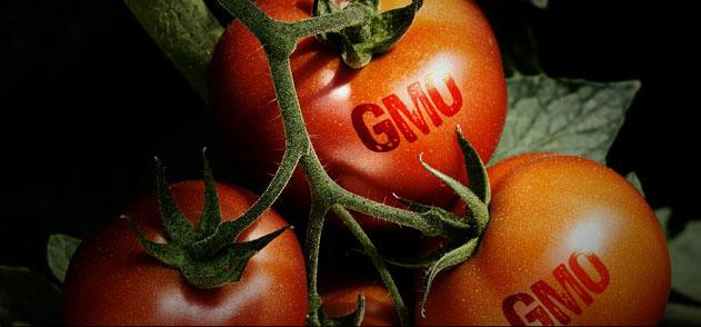 GMO, czyli globalny eksperyment żywnościowy