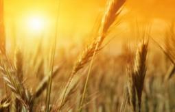Dieta bez pszenicy - szokujące odkrycia o szkodliwości pszenicy.