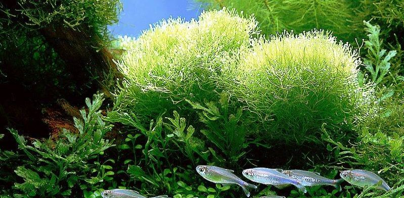 Spirulina - alga o szerokim spektrum działania