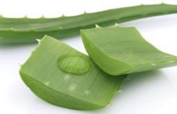 Aloes - cudowna roślina o wielu właściwościach