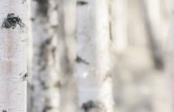 Sok z brzozy - jak go samodzielnie pozyskać?