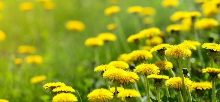 6 niezwykle wartościowych wiosennych roślin