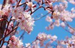Wiśnia japońska – odmiany i właściwości