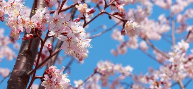 Wiśnia japońska - odmiany i właściwości