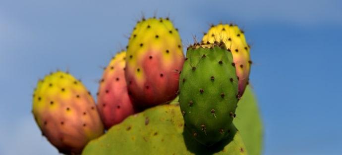 Właściwości opuncji figowej. Na co stosuje się jej kwiaty i owoce?