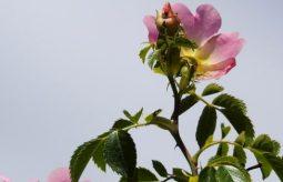 Dzika róża – właściwości i przeciwwskazania