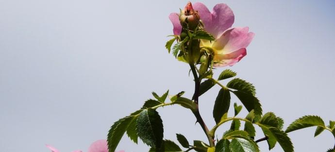 Dzika róża - właściwości i przeciwwskazania