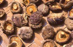 Grzyby shiitake – właściwości i hodowla domowa